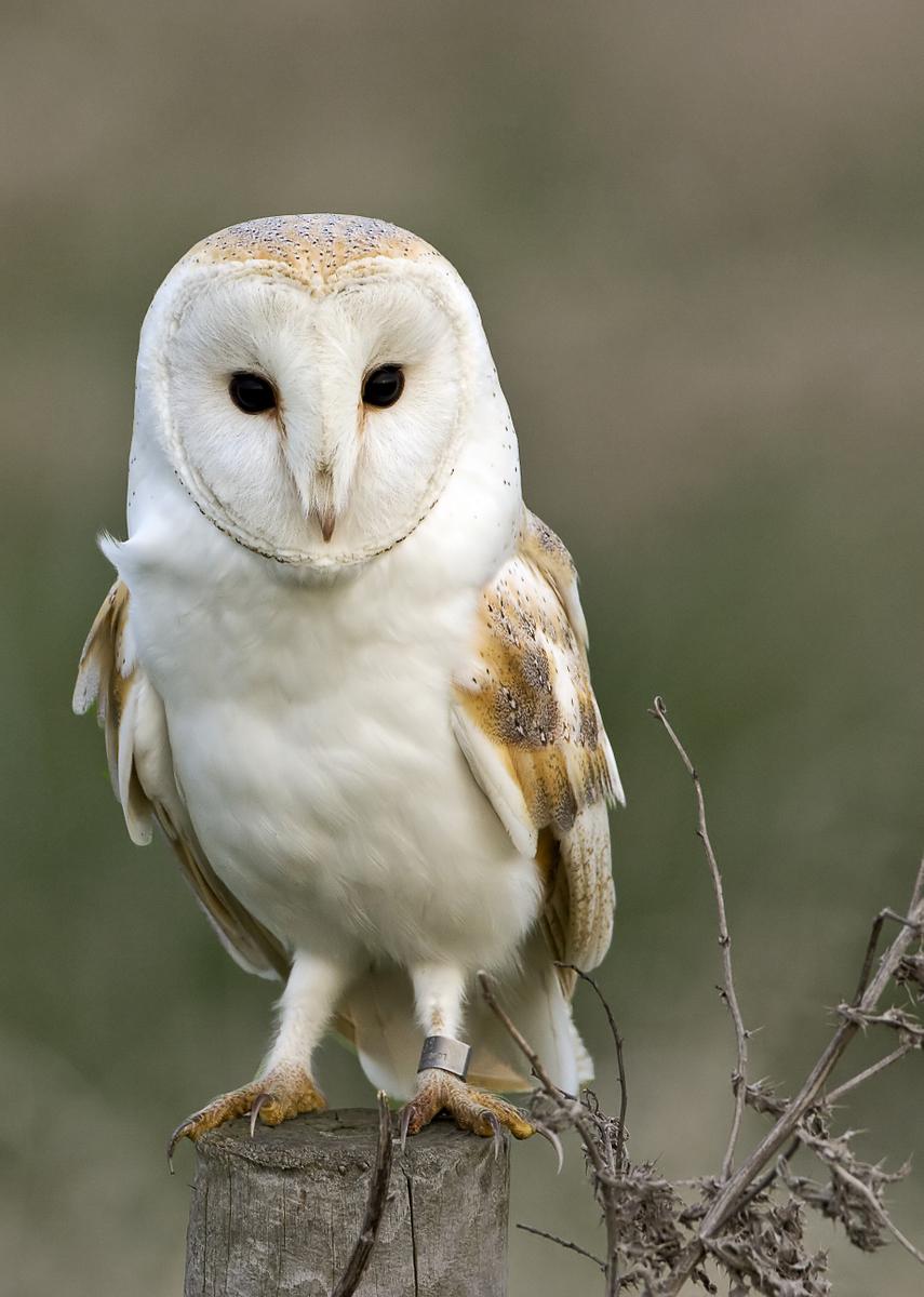 Dave Cordery - Barn Owl on Post