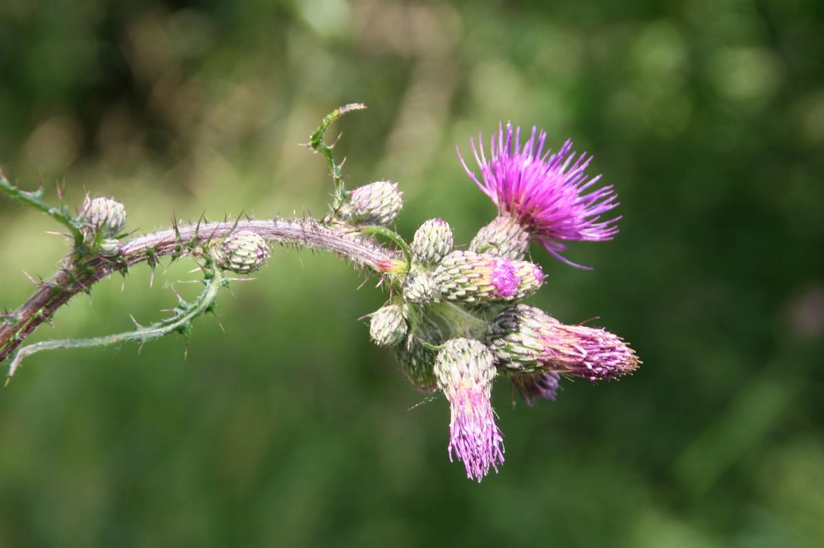 Flowering Thistle at Wicken Fen