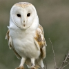 Dave Cordery - Barn Owl on Post