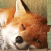 Symon Reynolds - Hoo Fox