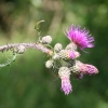 Flowering Thistle at Wicken Fen