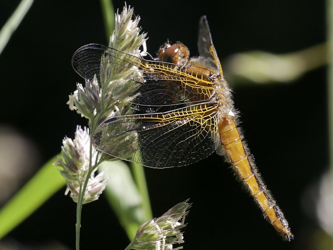 Scarce Chaser Dragonfly