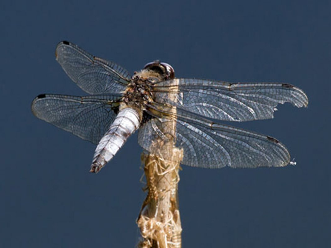 Colin Brown - Scarce Chaser