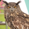 Kazooie European Eagle Owl, Cambridge