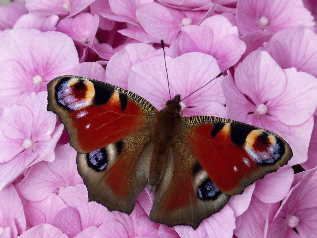 peacock butterfly Brenda.jpg