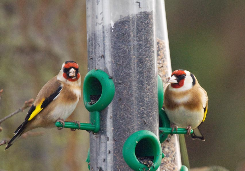 goldfinches-at-the-niger-seed