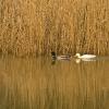 ducks-at-st-ives