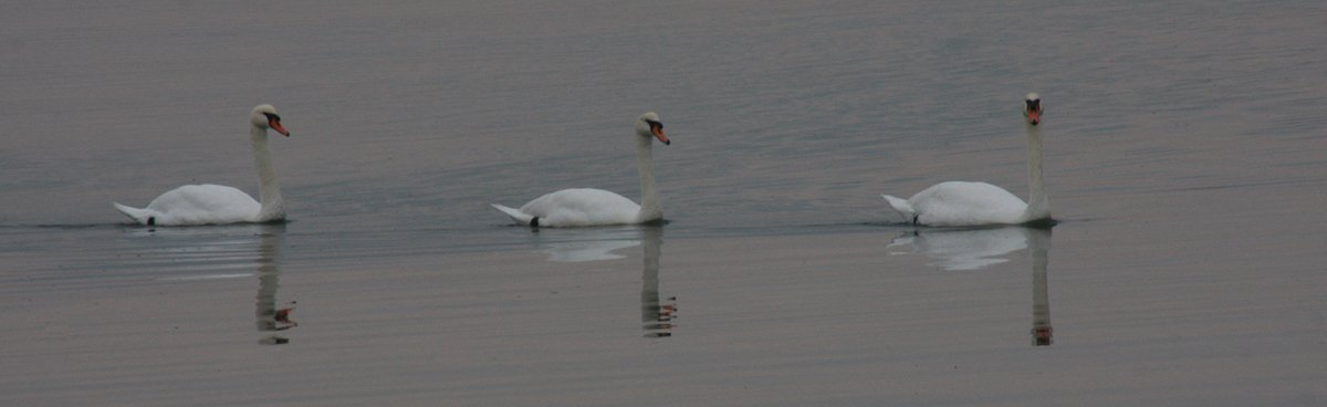 Brenda Three Swans