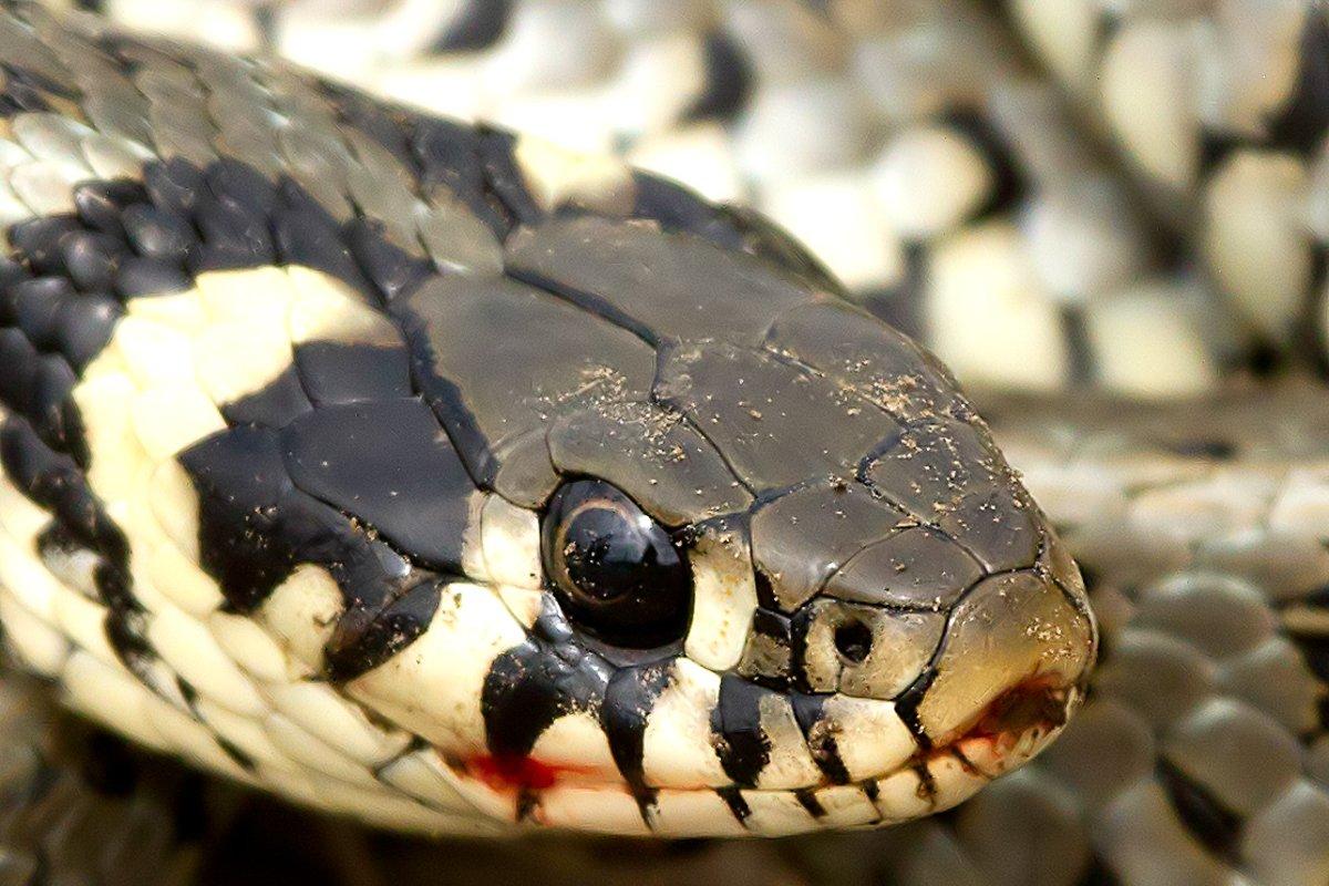 Colin_Brown_1_Grass_Snake.jpg