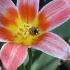 2-colin-brown-point-and-shoot-tulip-and-ladybird