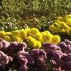 Colin Brown - Chrysanthemums
