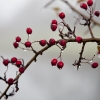 Jon Watkins - Dew-drops on hawthorn berries