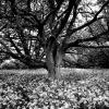 melvyn-2-v2-tree-in-sea-of-white-b-w